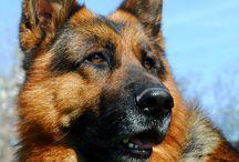 German Shepherd Quotes and Sayings