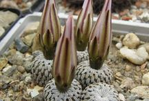 květiny-kaktusy