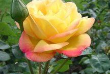Garden Roses / http://dabbiesgardenideas.com/category/growing-roses/