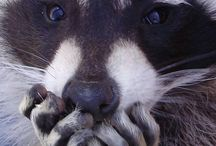 Racoons are Us!!! / Cool raccoons