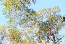 """Mirindibas / """"O Parque Nacional da Tijuca tem como um de seus objetivos a proteção de uma amostra de mata Pluvial Atlântica e o plantio das mirindibas é crucial para a regeneração dessa área. Não deve faltar na composição de reflorestamentos heterogêneos de áreas degradadas e para preservação e restauração das matas ciliares"""" por Raoni Mendonça, engenheiro ambiental"""