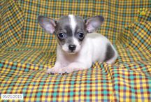 Chihuahua Darlings / http://www.buckeyepuppies.com/puppies-for-sale-bep/chihuahua