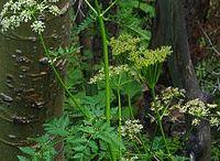 smokable herbs
