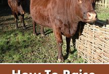 Raising cows / Tips and tricks