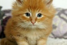 Norwegian Forest Cats / Norwegian Forest Cats from polish cattery MRUCZALSCY*PL