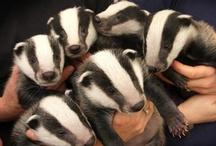 Badger love is my love