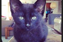 Lon katjes / Katten Abesijn