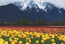 Virágmezők / Virágültetvények, virágos mezők, vadvirágok