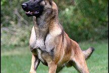 Belgian Malinois Shepherd Dog, Rottweiler