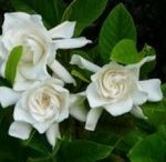 Care Of Gardenias