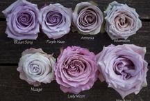 rózsa fajta