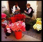 Catifes de flors | Alfombras de flores | Flower carpets