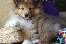 Shetland-schäferhund Welpen