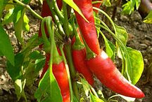 CAYENNE PEPPER / Putting the spice back into your life