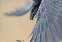 Morrighan's Ravens / Ravens, crows, art, myth, and magic associated with genus Corvidae. / by Sabine Hope