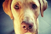 Labrador liefde