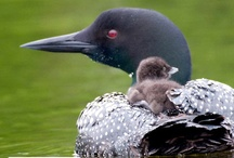 Loons / by Katie Greenfield