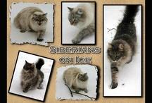 Siberian Forest Cat / by Kelley Nelson
