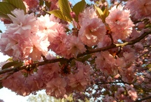 Cherry Blossom Bender