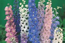 Growing delphiniums / How to grow delphiniums
