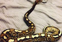 Ball Python Collection / My own collection X