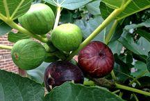 Frutiferas