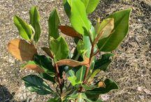 Magnolia grandiflora compacta