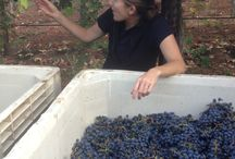 In the Vineyard / Take a seasonal tour to see what's happening in our vineyards.