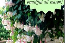 Fuschias: delightful flower of choice / I love these flowers, yet find them difficult to grow.