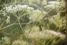 Alpine and Wild Flora / Flowers