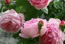 Ružový sen