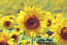 Sunflowers / In which there are flowers with a sunny disposition. / by Beth