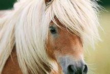 ló /falabella, exmoor, pony/