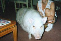 Pot Bellied Pig / by Bernadette Parent