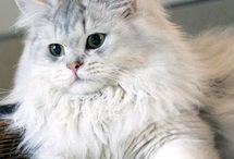 syberian cats
