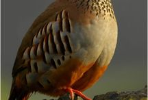 partridge-keklik