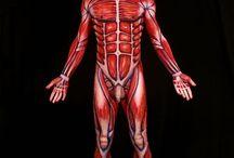 Anatomía Humana. Human anatomy. / Imágenes relacionadas con la anatomía humana.