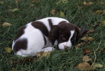 Brittany Dogs / Brittany hunting dogs!