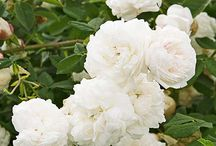 Jos dream garden English roses white yellow orange / Collection of most beautiful English roses in soft colors