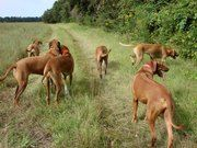 Seattle Rhodesian Ridgebacks / Love Your Ridgeback...home of happy, hardy, and healthy Rhodesian Ridgeback puppies and dogs...here you can experience their kindred spirits. We love them...Seattle, WA. area has so many wonderful places for a ridgeback and their family to go and play...