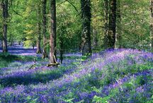Bluebells in the #deanwye