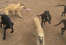 racing greyhound pups / lindray park greyhounds