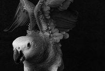 Жако/African grey parrot