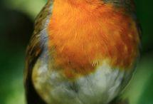 Robin / Roodborstje