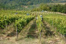 Winemaking in Chianti