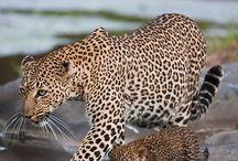 Leopard / by kayla vincent