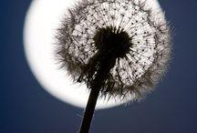 Dandelion dreaming