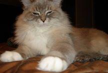 Blue Lynx Mitted Ragdoll Cats