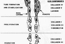 Děloha/Uterus