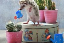 Hedgehog Obsession